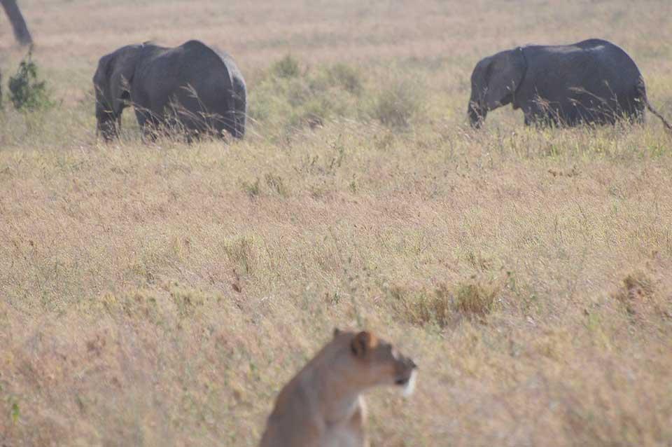 lion-and-elephant
