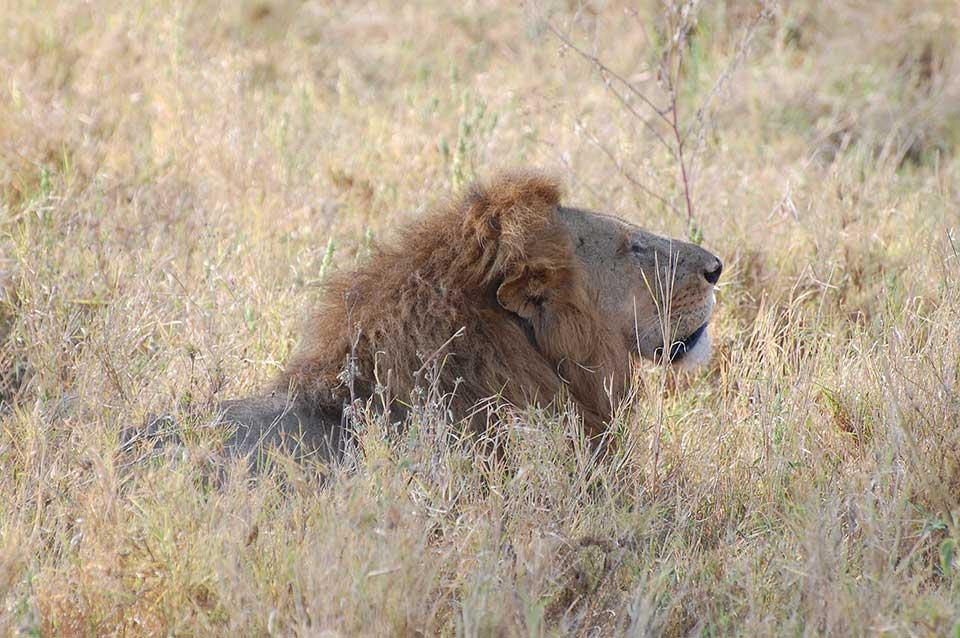 lion-head