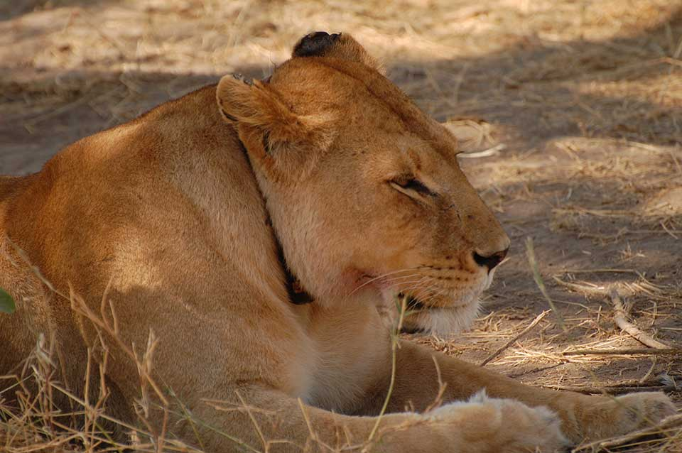lion-head2