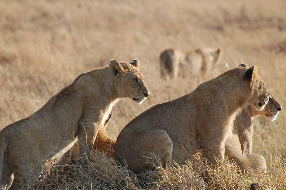lion-pack-2